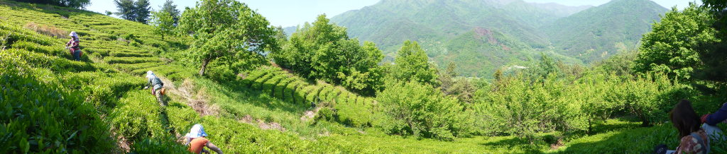Jukro Tea Company's Tea Garden